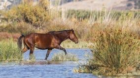 Brown Wild Horse in Marsh Stock Image