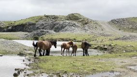 Brown wild horses on top of a mountain drinking water out of a source Galicia Spain. Summer stock footage