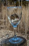 A wild house mouse eating seeds in a long stemmed wine glass. A brown wild house mouse, Mus musculus, with his two pink paws to his face, sits calmly in a Royalty Free Stock Photos