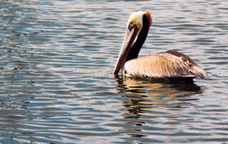 Brown Wild Pelican Bird San Diego Bay Animal Feathers Royalty Free Stock Images