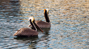 Brown Wild Pelican Bird San Diego Bay Animal Wildlife Royalty Free Stock Photos
