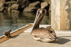 Brown Wild Pelican Bird San Diego Marina Animal Feathers Royalty Free Stock Image