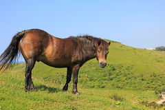 Brown wild pony, coastal landscape Royalty Free Stock Images