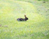 Brown, wild rabbit in grass. Brown wild rabbit resting in grass Royalty Free Stock Photo
