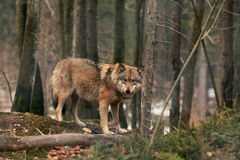 Brown wildlife Wolf Stock Photography