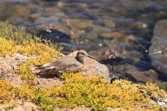 Brown willet shore bird, Tringa semipalmata Royalty Free Stock Image