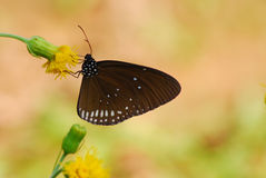 Brown wing butterfly on flower Royalty Free Stock Photos