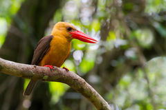 Brown-winged Kingfisher Stock Photography