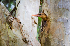 Brown-winged Kingfisher Juvenile Royalty Free Stock Photography