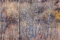 Brown winter forest with bare trees. Nature landscape of brown winter woodland with bare trees and dry grasses Royalty Free Stock Photography