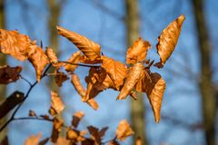 Brown Winter leaves. Crisp brown leaves on a tree in winter, with a blue sky behind stock photos