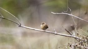 Winter Wren songbird, Georgia, USA Royalty Free Stock Image