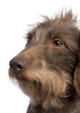 Brown Wire-haired dachshund (3 yeras old) stock images