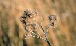 Brown withered lesser burdock stems and seedheads from close Stock Photos