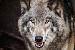Brown Wolf Royalty Free Stock Image