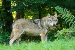 Brown Wolf Standing on Green Grass Stock Image