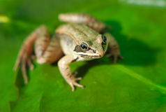 Brown wood frog on green leaf in a pond. Wood frog and green waterlily, amphibian macro and green leaf Stock Images