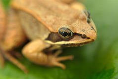 Brown wood frog on leaf in a pond Stock Photography