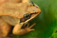 Brown wood frog macro closeup in a pond Stock Photography