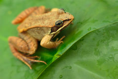 Brown wood frog in a pond Stock Images