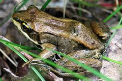 A brown Wood Frog sitting in the grass Stock Image