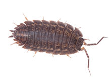Brown wood louse isolated on white background Stock Photos