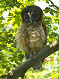 Brown Wood Owl. The Brown Wood Owl (Strix leptogrammica), is an owl which is a resident breeder in south Asia stock photos
