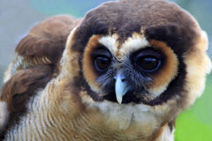 Brown wood owl of Malaysia. Strix leptogrammica brown wood owl of Malaysia stock image