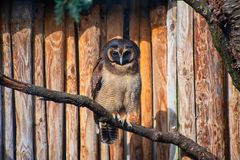 Brown Wood Owl perched on a branch. Brown Wood Owl perched on a tree branch royalty free stock photos