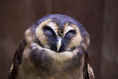 Brown wood owl royalty free stock photography