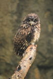 Brown wood owl. The brown wood owl sitting on the branch royalty free stock images