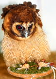 Brown Wood Owl (Strix leptogrammica) Stock Photo