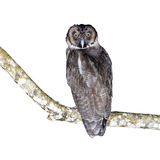 Brown Wood Owl. (Strix leptogrammica) on a branch, white background stock photos