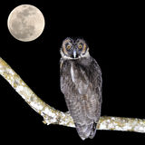 Brown Wood Owl. (Strix leptogrammica) and the moon stock photos