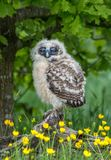 Brown Wood Owl Chick. The Brown Wood Owl Strix leptogrammica is an owl which is a resident breeder in south Asia stock photo