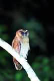 Brown wood owl. Strix leptogrammica in Sabah, Borneo stock photos