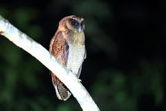 Brown wood owl. Strix leptogrammica in Sabah, Borneo royalty free stock images