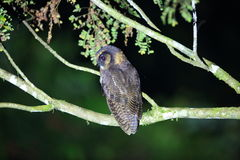 Brown wood owl. Strix leptogrammica in Sabah, Borneo royalty free stock photos