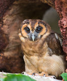 Brown wood owl, Strix leptogrammica. The brown wood owl Strix leptogrammica is an owl which is a resident breeder in south Asia from India, Bangladesh and Sri royalty free stock image