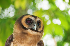 Brown wood owl. Strix leptogrammica is an owl which is a resident in south Asia from India, Bangladesh and Sri Lanka east to western Indonesia and south China stock photography