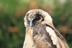 Brown wood owl. The upper body of brown wood owl stock image