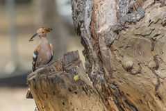 Brown wood pecker with insect in the mouth. On the old tree stock photography