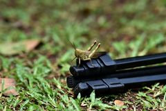Brown wooded grasshopper royalty free stock photos