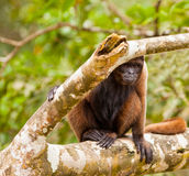 Brown Woolly Monkey. A curious Brown Wooly Monkey (Lagothrix lagotricha) watches hidden behind a tree at the amazon river in northern Peru Stock Image