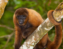 Brown Woolly Monkey Stock Images