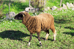 Brown Woolly Sheep Royalty Free Stock Photography