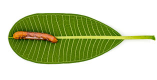 Brown worm on a green leaf white background. Stock Photo