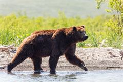 Brown wounded bear Ursus arctos beringianus going along the lake Kamchatka, Russia royalty free stock image