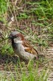 Brown wróbli obsiadanie w trawie Fotografia Royalty Free