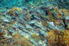 Brown wrasse fish in tropical seashore underwater photo. Coral reef fishes. Warm sea shore nature